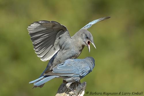 Pinyon Jay adult feeding fledgling