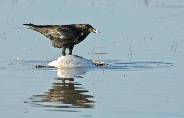 Chihuahuan Raven{Corvus cryptoleucus}