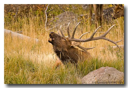 Rocky Mt. Elk
