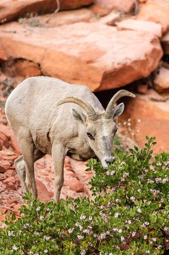 Desert Bighorn sheep [Ovis canadensis nelsoni]; browsing Pointleaf Manzanita [Arctostaphylos pungens]; Zion National Park, Utah