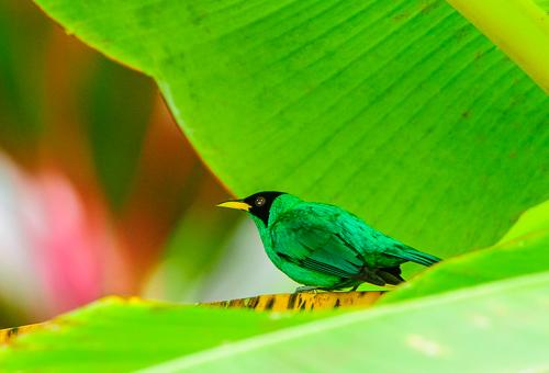 Green Honeycreeper [Chlorophanes spiza]_BiNT-0040