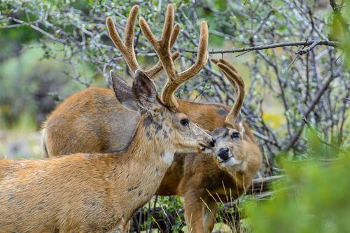 Mule Deer [Odocoileus hemionus] bucks in the velvet; Fremont County, Colorado