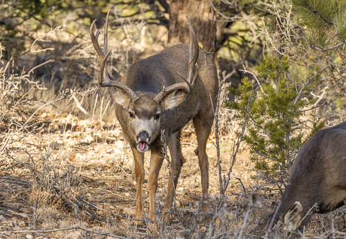 Mule Deer [Odocoileus hemionus] buck yawning while browsing near doe, during breeding season; Fremont County, Colorado