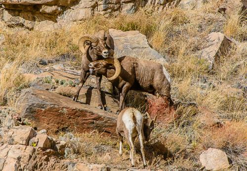 Rocky Mt. Bighorn Sheep [Ovis canadensis] rams battling over ewe during rutting season; Bighorn Sheep Canyon, Arkansas River, Colorado