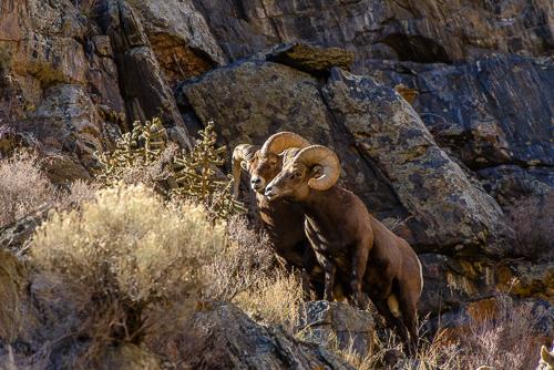 Rocky Mt. Bighorn Sheep [Ovis canadensis] rams, during rutting season; Bighorn Sheep Canyon, Arkansas River, Colorado
