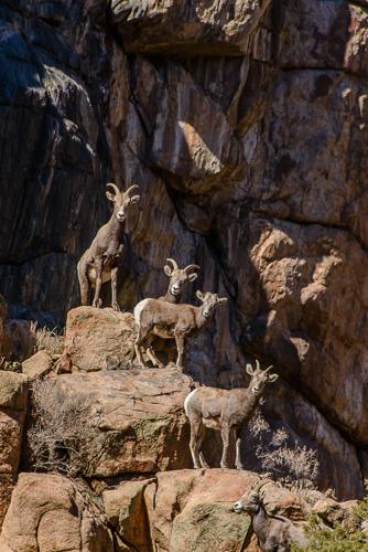 Rocky Mt. Bighorn Sheep [Ovis canadensis]  ewes & lamb, during rutting season; Bighorn Sheep Canyon, Arkansas River, Colorado