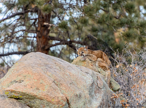 Mountain Lion [Felis concolor]