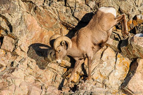 Bighorn Sheep {Ovis canadensis}