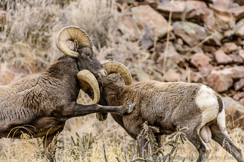 Rocky Mountain Bighorn Sheep [Ovis canadensis]