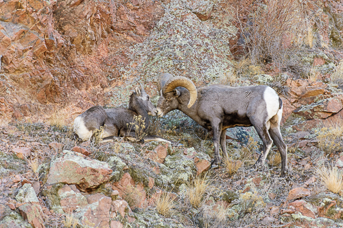Rocky Mountain Bighorn Sheep[Ovis canadensis]