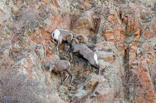 Rocky Mountain Bighorn Sheep[Ovis canadensis]