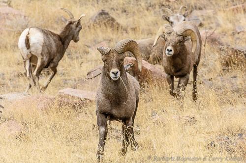 Rocky Mt. Bighorn Sheep [Ovis canadensis]