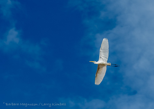 Great Egret [Casmerodius albus]
