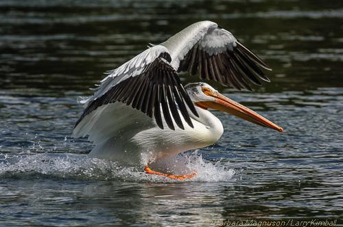 American White Pelican [Pelecanus erythrorhynchos]; Fishing Bridge, Pelican Creek, Yellowstone NP, WY splash landing