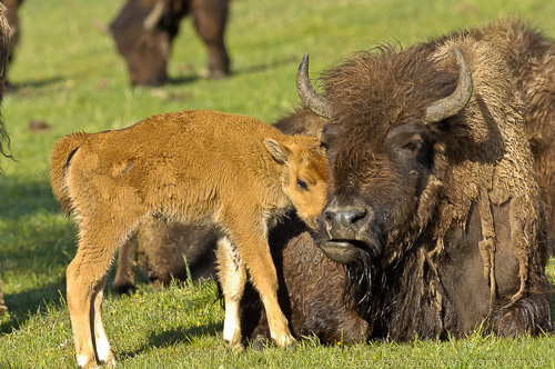 Resting Bison cow & calf in a tender moment of bonding; Madison R. valley, Yellowstone NP., WY