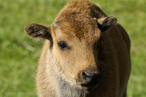 Bison calf portrait