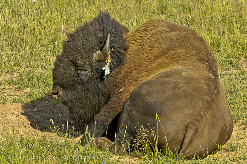 During the rut an old Bison bull takes time out for a nap during the heat of the day  Yellowstone NP., WY