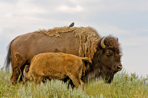 Bison cow nurses calf, while cowbird takes up residence on her back; Yellowstone NP., WY