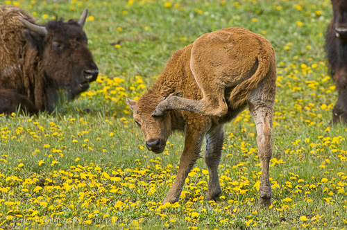 Darn that itch! Bison calf scratching head; Yellowstone NP., WY