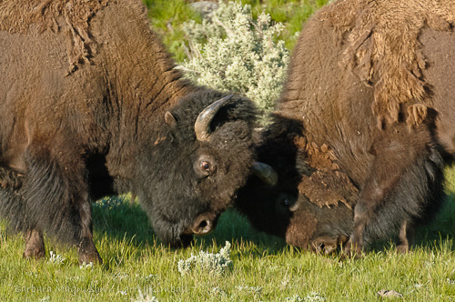 Bison bulls bumping heads during the summer rut; Yellowstone NP., WY