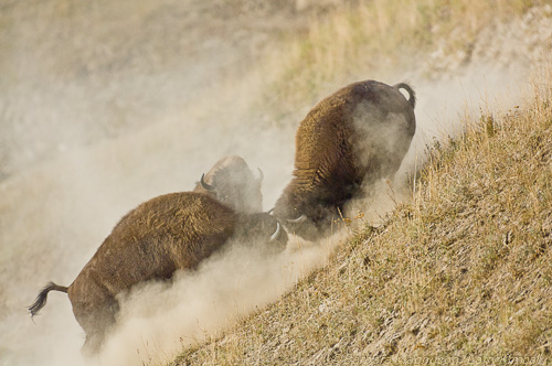Young Bison bulls stirring up dust while sparring during the summer rut; Yellowstone NP., WY