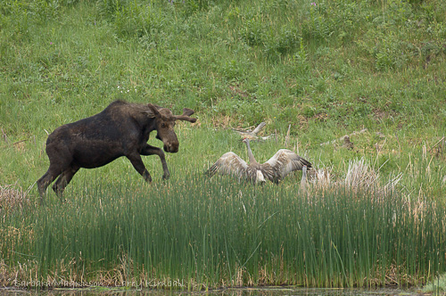 Moose [Alces alces] young bull visiting lake to feed, encounters Sandhill Crane pair with colts; Floating Island Lake, Yellowstone NP., Wyoming