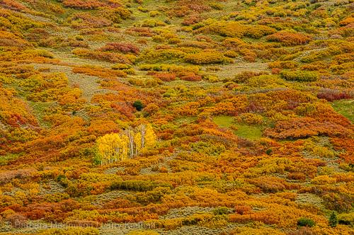 Aspen & Gambel's Oak in fall color; Cimarron River valley.
