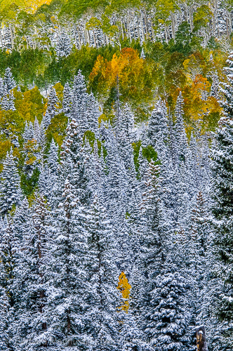 Fresh new snow decorates an autumn aspen landscape, Owl Creek Pass.