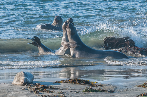 Northern Elephant Seal young bulls playfight in the surf.
