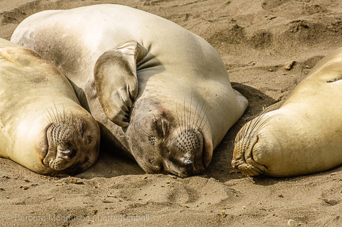 Elephant Seal haul-out has its pleasant moments.