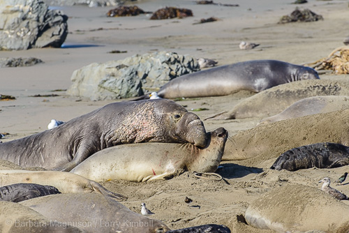 No Valentine's or roses. Mating for elephant seals is an unceremonious affair.
