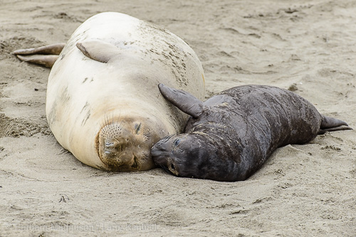 Seal cow with her pup.