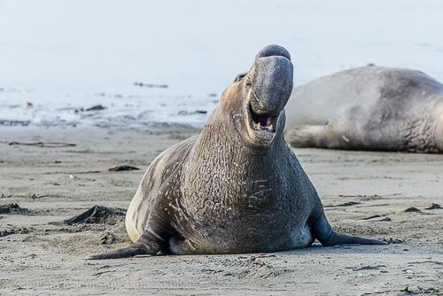 "Northern Elephant Seal bull, the ""beachmaster"""