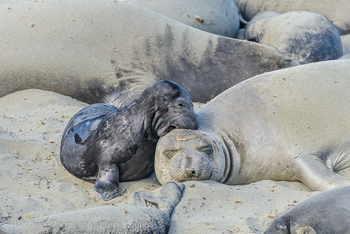 Seal pup bonding with mom.