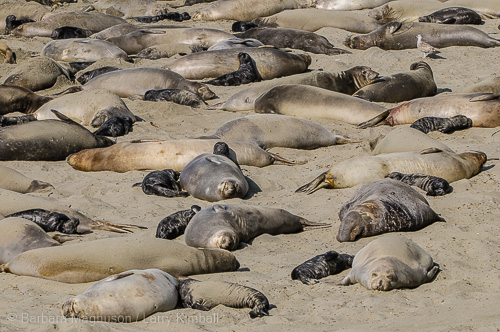 Northern Elephant Seal cows and pups lounging in the sun.