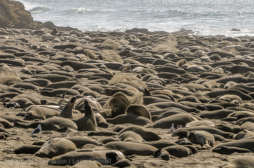 Northern Elephant Seals on the beach.