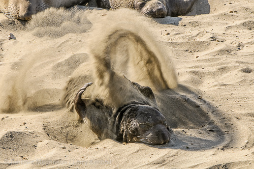 Pup flipping sand.