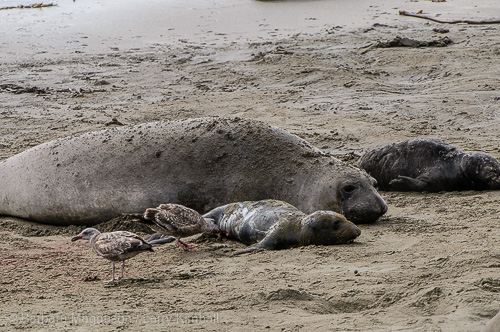 Elephant Seal newborn inspected by gull.