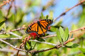 Monarch Butterfly during winter migration, feeding on nectar of bottlebrush tree flowers.