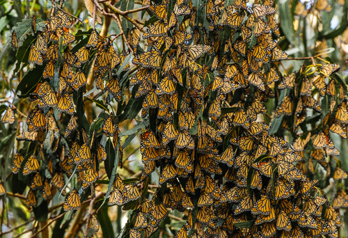 Monarch Butterflies clustering on tree branches inside forest grove to winter