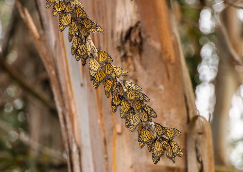 Monarch Butterflies [Danaus plexippus]