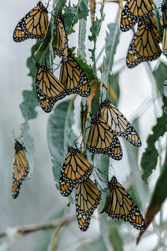 Monarch Butterfly [Danaus plexippus]