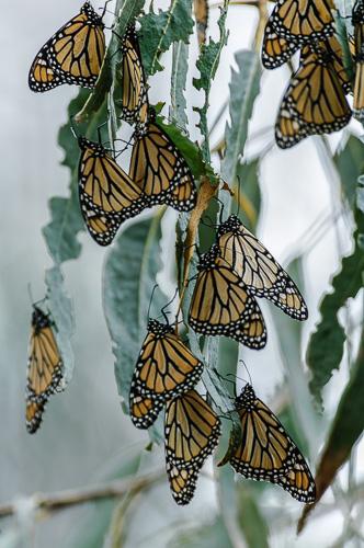 Monarch Butterfly [Danaus plexippus]