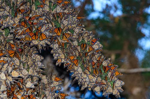 Overwintering cluster of Monarchs.