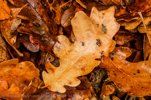 Oak leaf litter; Colorado