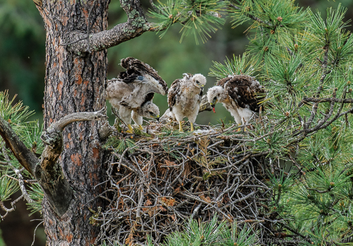 Food is sometimes shared but with 3 chicks, the youngest is usually left out until the others are full.