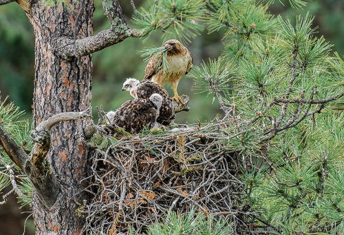 Most birds of prey bring fresh green leaves or conifer needle clusters to the nest .... the vegetation may provide concealment from above, may serve as a natural coolant, or may reduce odors and fungal growths.  Conifer needles contain aromatic chemicals, called terpenes, that may repel insects and prevent a fungal disease.
