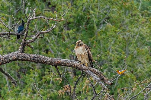 The smaller birds don't like a hawk perching near or in their territory.