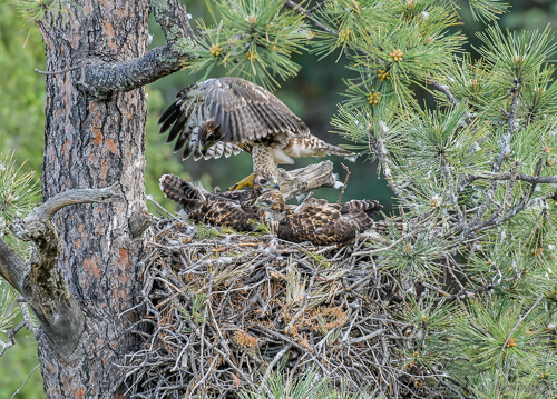 Exercising in the nest is another way.