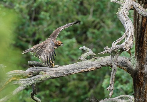 Fledged and learning to fly and land.